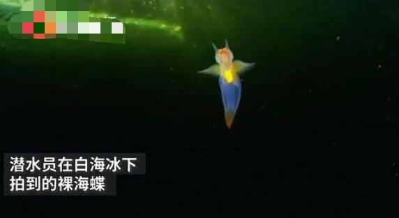 俄潜水员冰下拍到裸海蝶 裸海蝶长什么样子-第1张图片-爱薇女性网