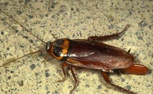 怎样把蟑螂除尽,教你家里放一物绝对没蟑螂-第1张图片-爱薇女性网