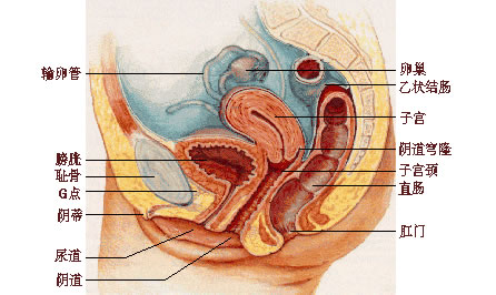 女性生理结构解剖图与分析-第1张图片-爱薇女性网