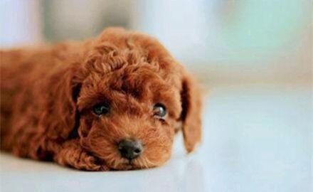 世界十大绝不咬人的狗,金毛/拉布拉多/哈士奇这三种最受欢迎-第5张图片-爱薇女性网