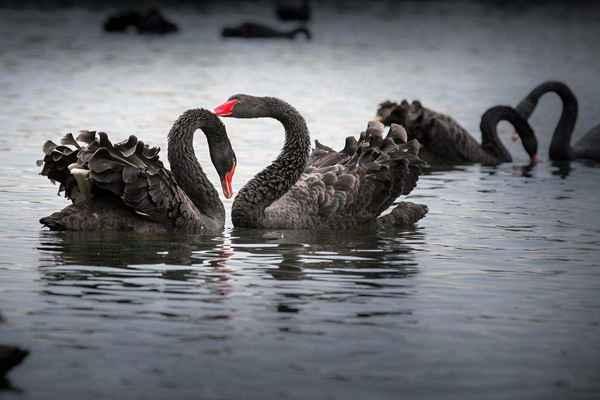 黑天鹅事件是什么意思?盘点世界五大黑天鹅事件-第1张图片-爱薇女性网