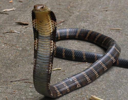 眼镜王蛇为什么叫过山峰?不仅仅是因为其惊人的速度-第1张图片-爱薇女性网