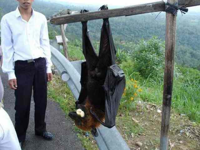 世界最大的蝙蝠,马来大狐蝠翼展可达2米比人还大-第2张图片-爱薇女性网