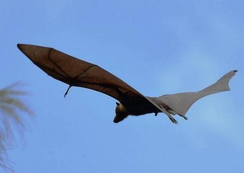 世界最大的蝙蝠,马来大狐蝠翼展可达2米比人还大-第3张图片-爱薇女性网
