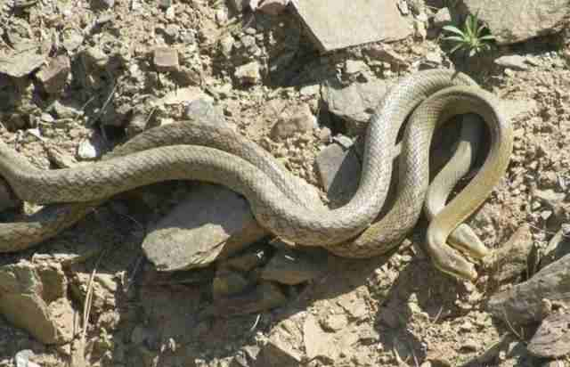 蛇是怎么交配的?蛇交配的过程详解-第1张图片-爱薇女性网
