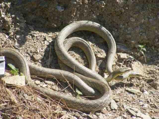 蛇是怎么交配的?蛇交配的过程详解-第2张图片-爱薇女性网