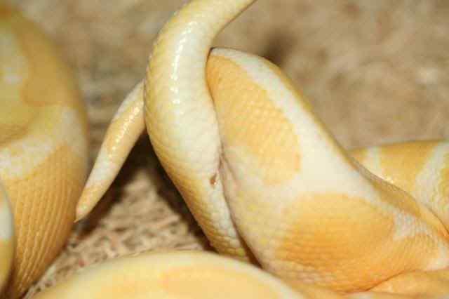 蛇是怎么交配的?蛇交配的过程详解-第4张图片-爱薇女性网