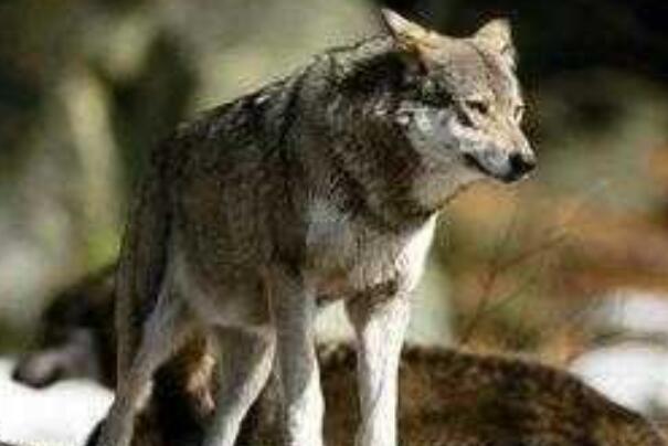 福克兰群岛狼:外形与狗相似,已知唯一灭绝的犬科动物-第2张图片-爱薇女性网
