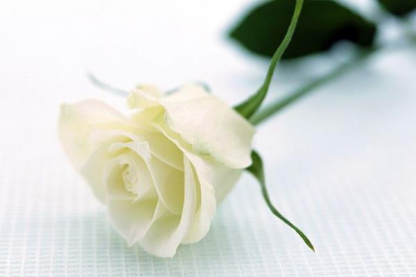 白玫瑰代表什么意思?表达纯洁浪漫的爱情-第2张图片-爱薇女性网