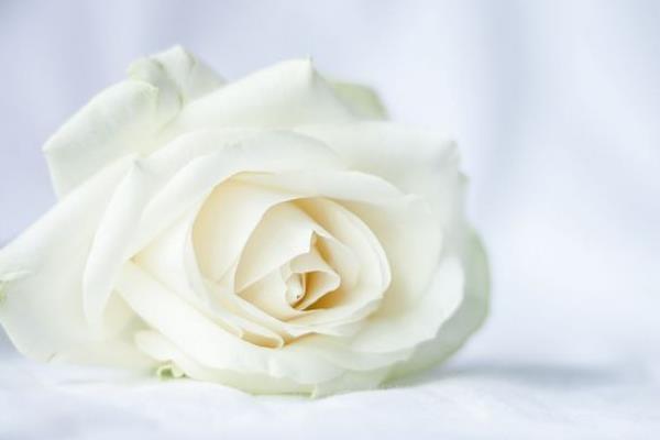 白玫瑰代表什么意思?表达纯洁浪漫的爱情-第4张图片-爱薇女性网