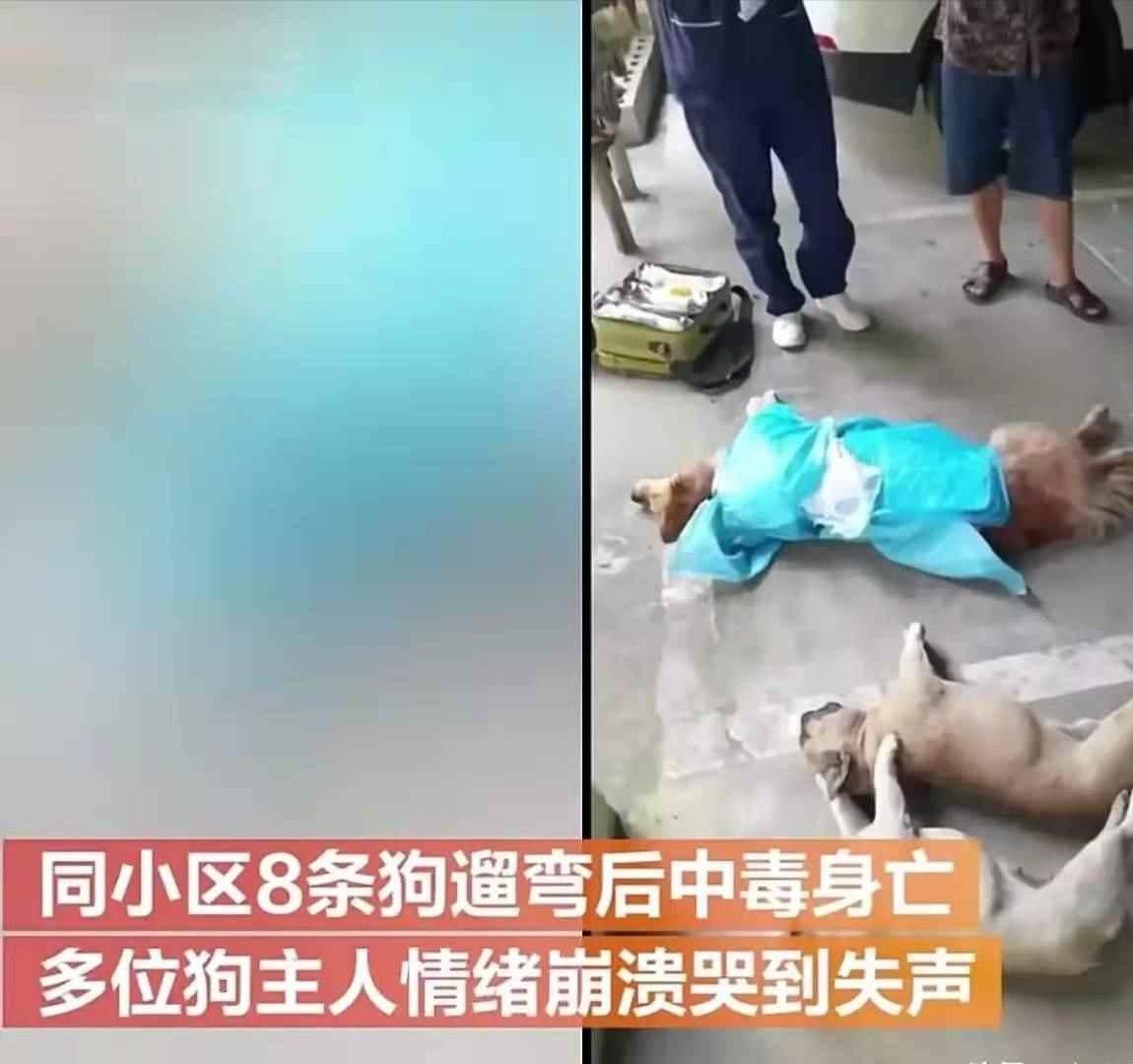 贵州一小区8条狗遛弯后中毒身亡,狗主人情绪崩溃大哭-第2张图片-爱薇女性网